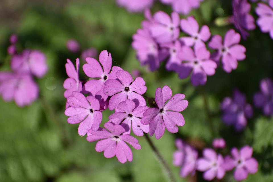 Flowers, Bloom, Summer, Beauty, Purple