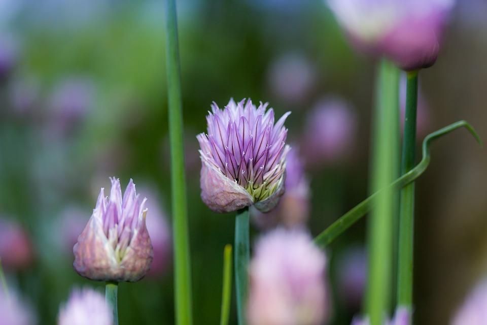 Chives, Flower, Lökväxt, Garden, Purple, Plant, Flowers