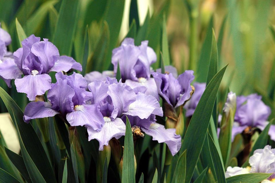 Irises, Purple Iris, Flowers, Purple Flowers