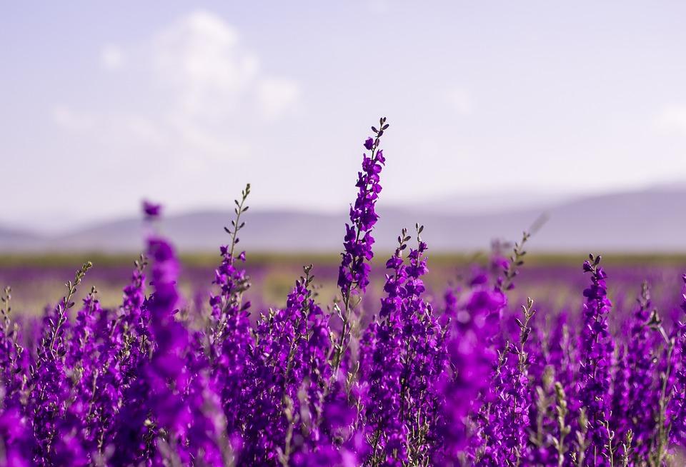 Flowers, Purple, Lavender, Blossom, Nature, Garden