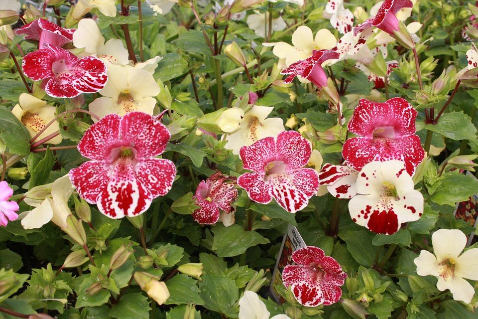 Mimulus, Monkey Flower, Phrymaceae, Flowers, Purple