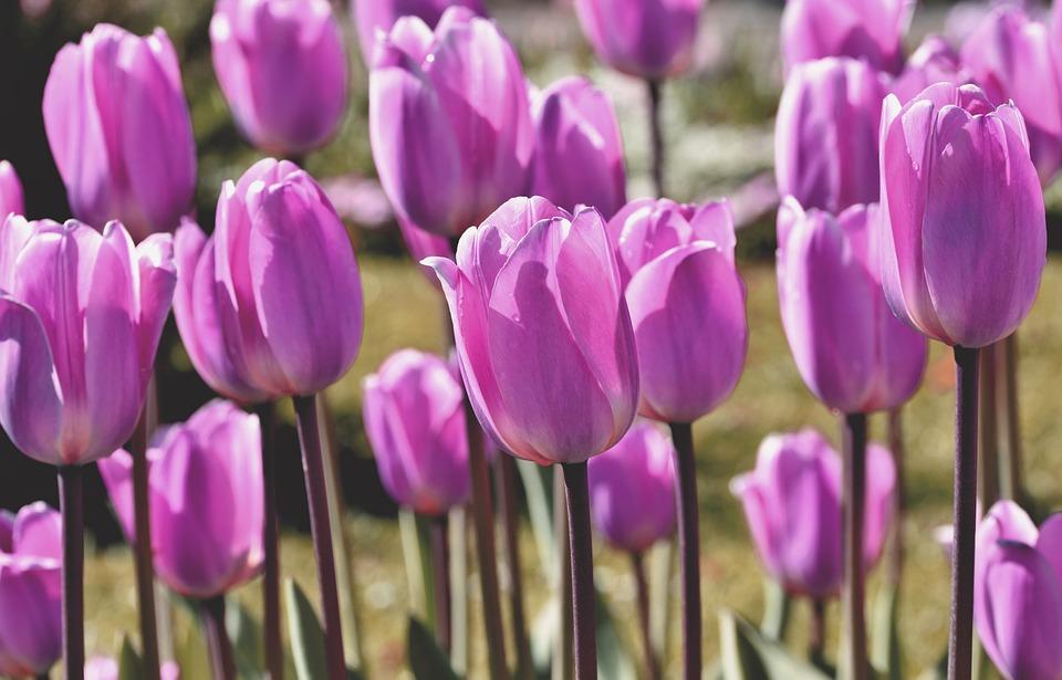 Tulips, Flowers, Purple Tulips, Purple Flowers, Bloom