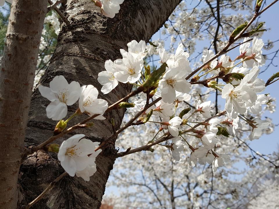 Wood, Flowers, Quarter, Cherry Tree, Plants