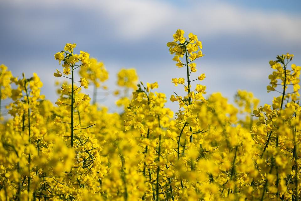 Rapeseeds, Yellow, Flowers, Yellow Flowers