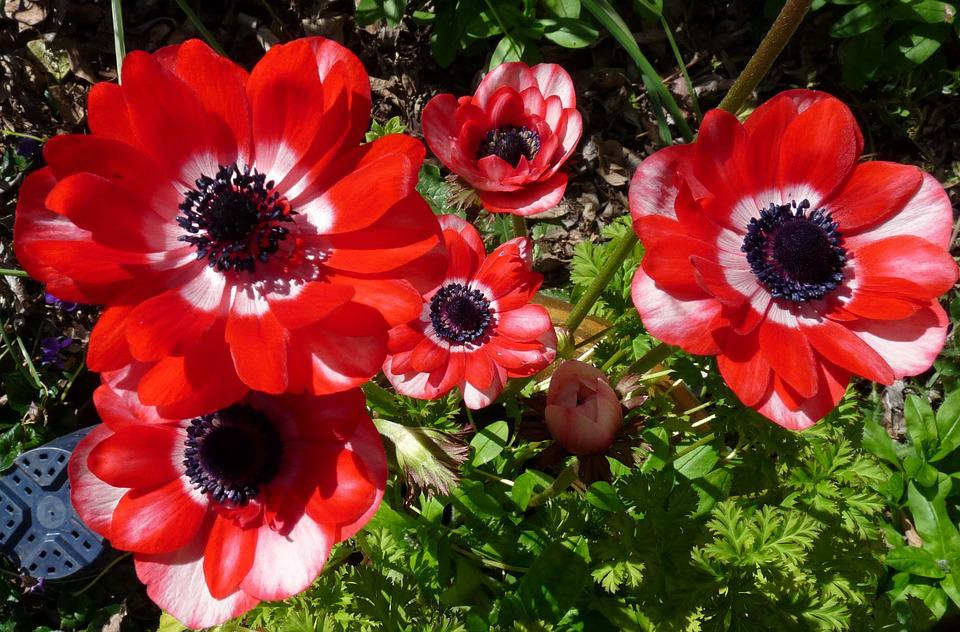 Anemone, Flowers, Red