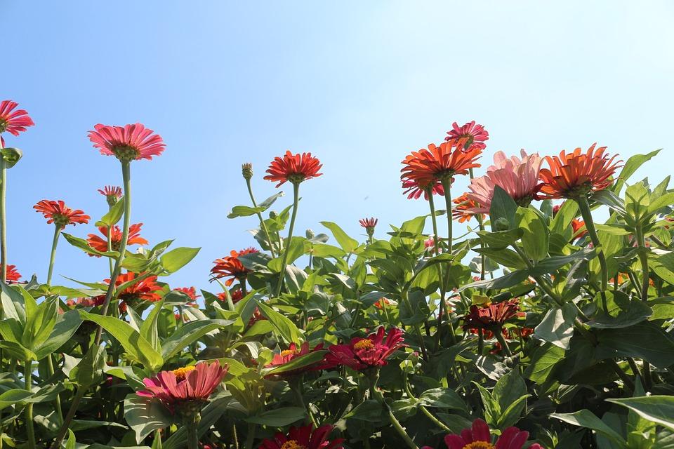Flowers, Red, Cornflower