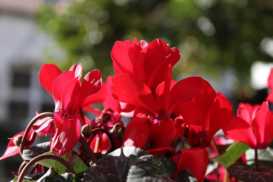 Cyclamen, Red, Flowers, Flower, Garden, Red Flower