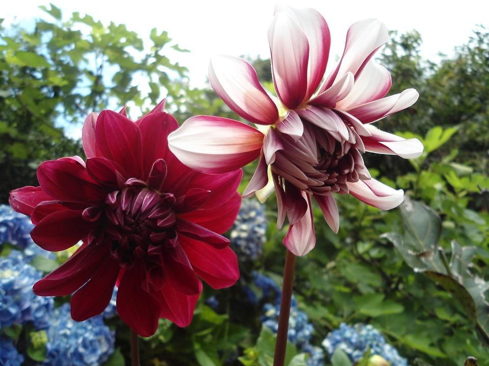Flower, Red, Dahlia, Spring, Red Flower, Flowers