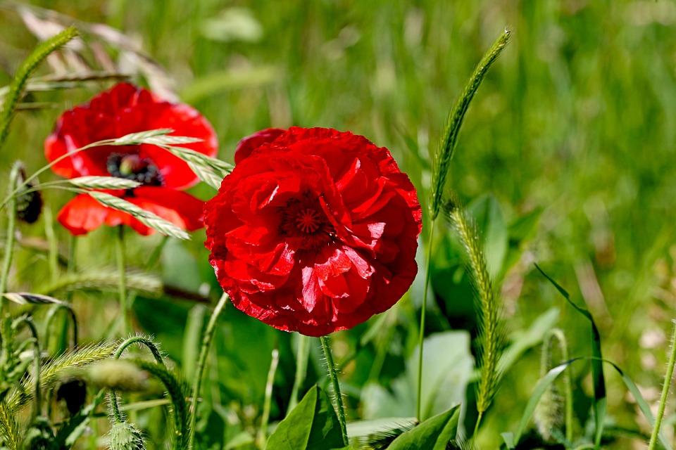 Poppy, Flowers, Meadow, Poppy Flowers, Red Flowers