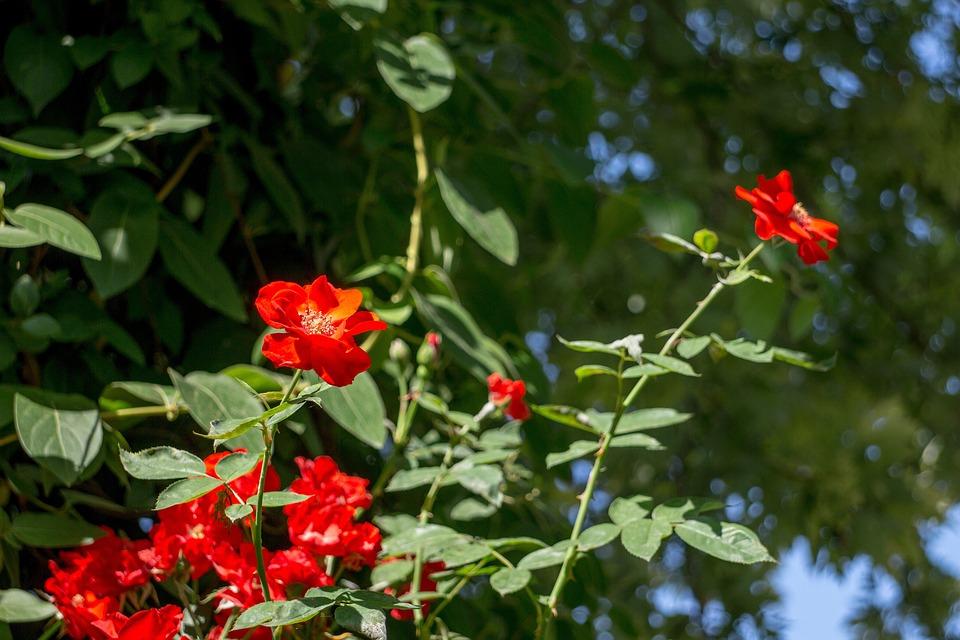 Flowers, Nature, Summer, Red, Garden