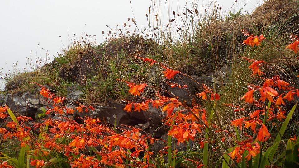 Montbretia, Red, Flowers, Ireland, Irish Coast