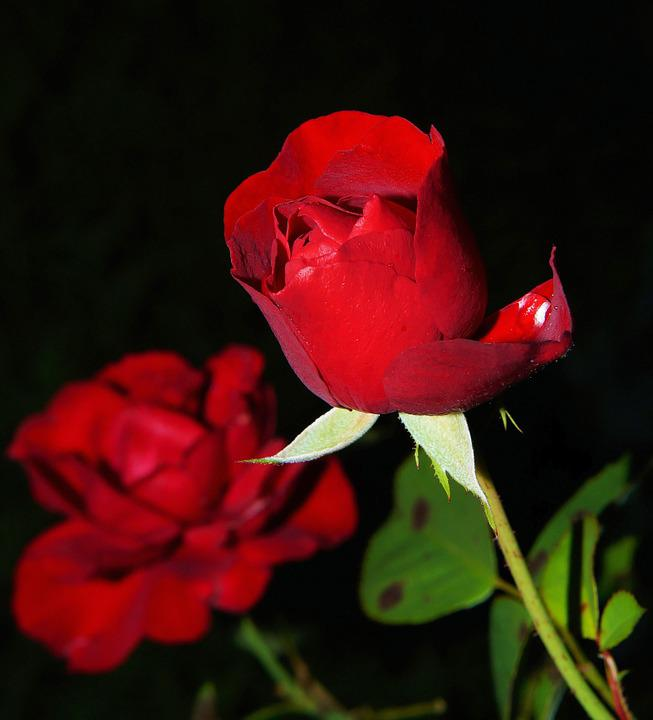 Roses, Flowers, Red Roses, Petals, Red Petals