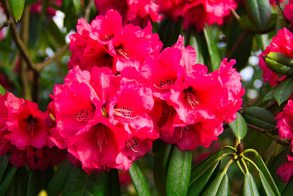 Rhododendron, Flowers, Red, Spring