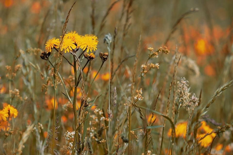 Wild Flower Meadow, Flowers, Reported Hawksbeard