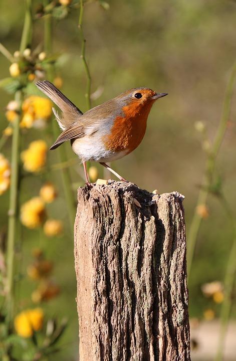 Robin, Post, Flowers, Bird, Nature, Red, Wildlife
