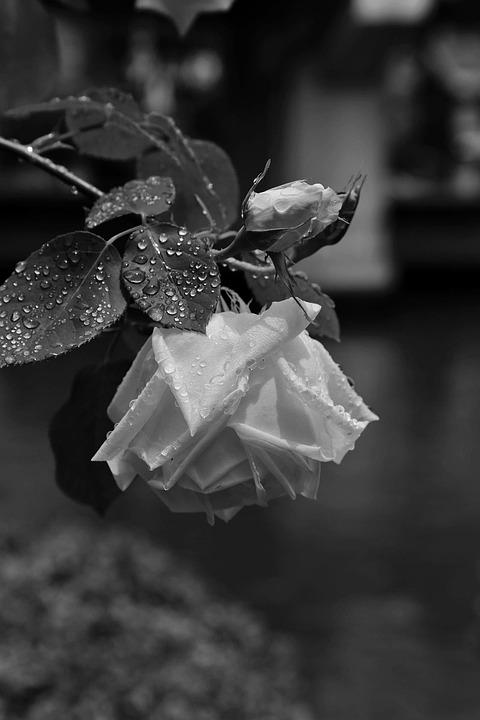 Flowers, Japan, Rose, Rain, Black And White
