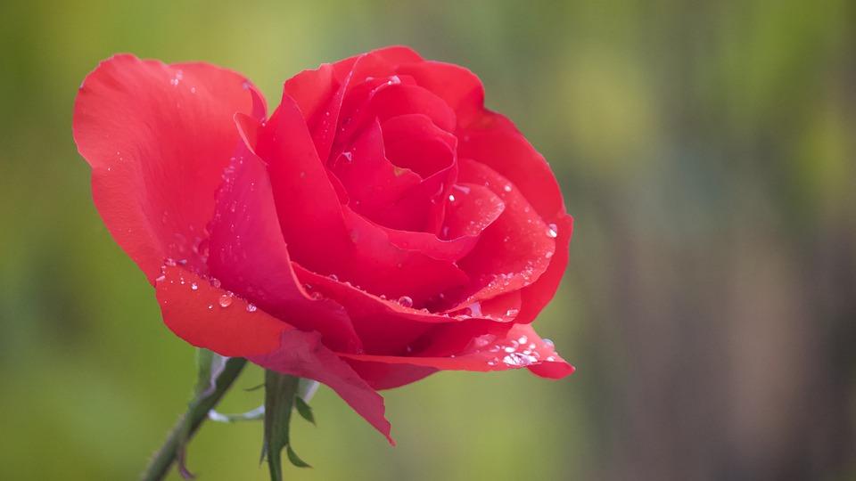 Rose, Garden Rose, Red Rose, Flowers, Rose Blooms