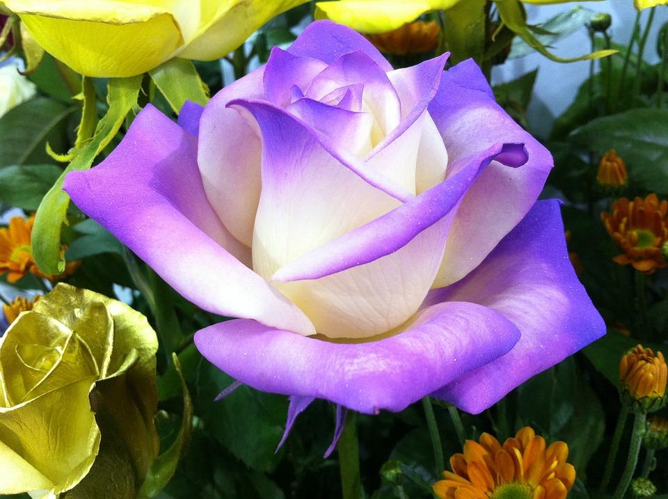 Rose, Flowers, Nature