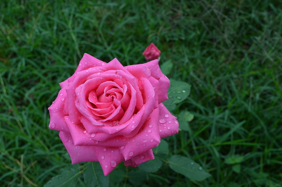 Rose, Plants, Floral, Flowers, Florals, Ornamental