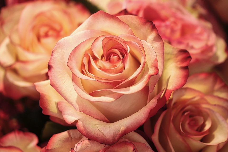Roses, Flowers, Rose Bloom, Petals, Rose Petals, Bloom