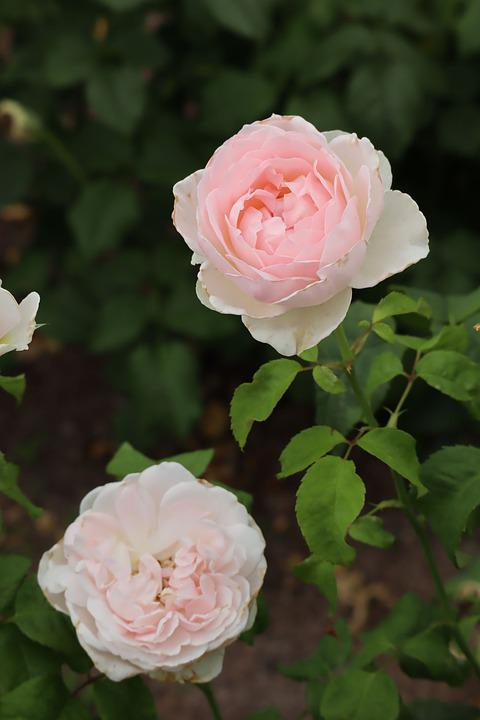 Natural, Plant, Flowers, Rose, Pink