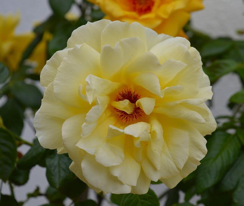 Rose, Yellow, Rose Bloom, Blossom, Bloom, Flowers