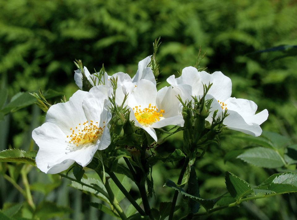 Rosehips, Flowers, Rosa Canina, White Flowers, Petals