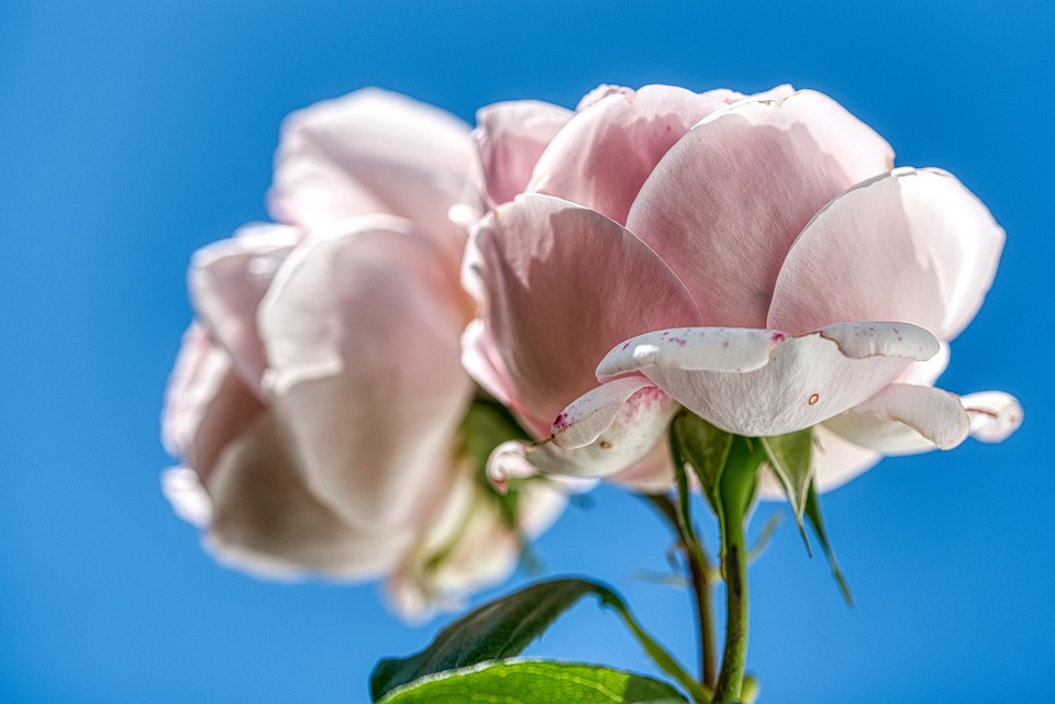Roses, Two, Duo, Pair, Pink, Flowers, Sky, Blue
