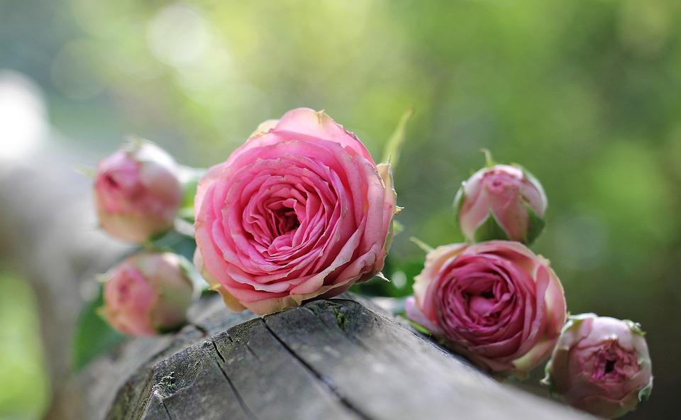 Roses, Pink Roses, Petals, Pink Petals, Flowers