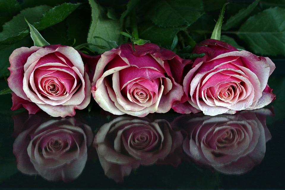 Roses Flowers Rose Flower Romantic Love Fragrance