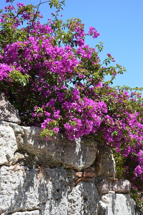 Flowers, Bourgonvillea, Sand Stone, Purple