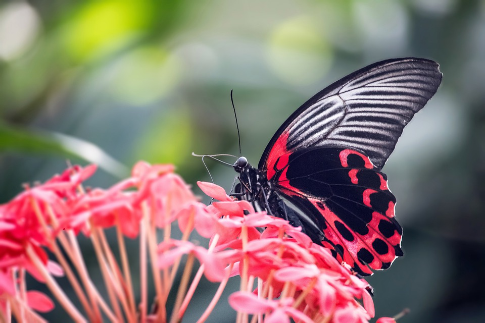 Scarlet Mormon Butterfly, Insect, Flowers
