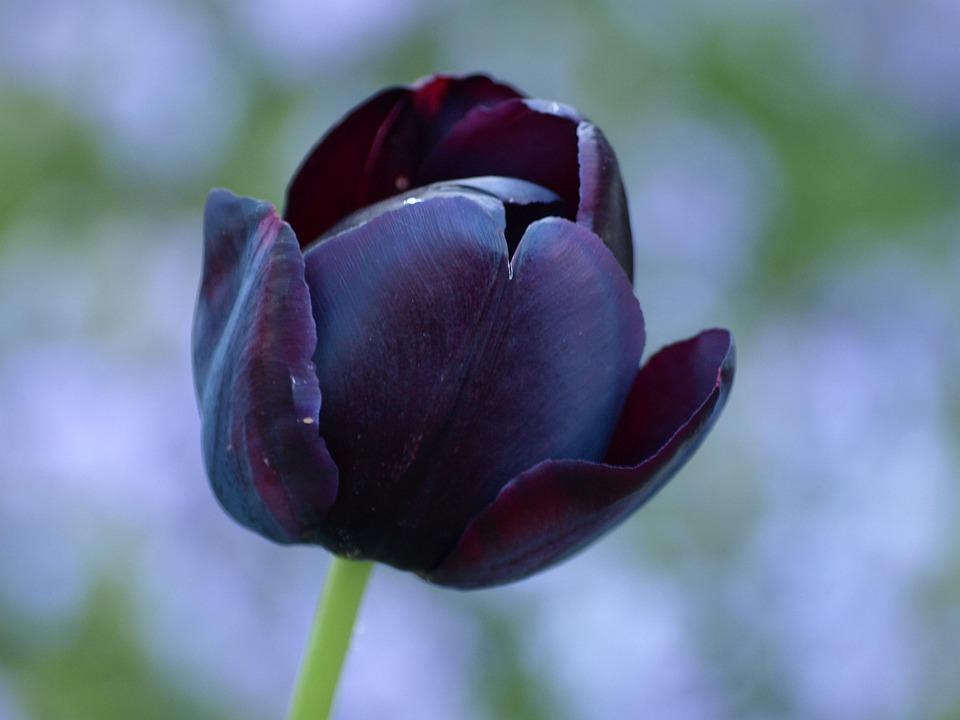 Tulip, Black, Lily, Spring, Flowers, Schnittblume
