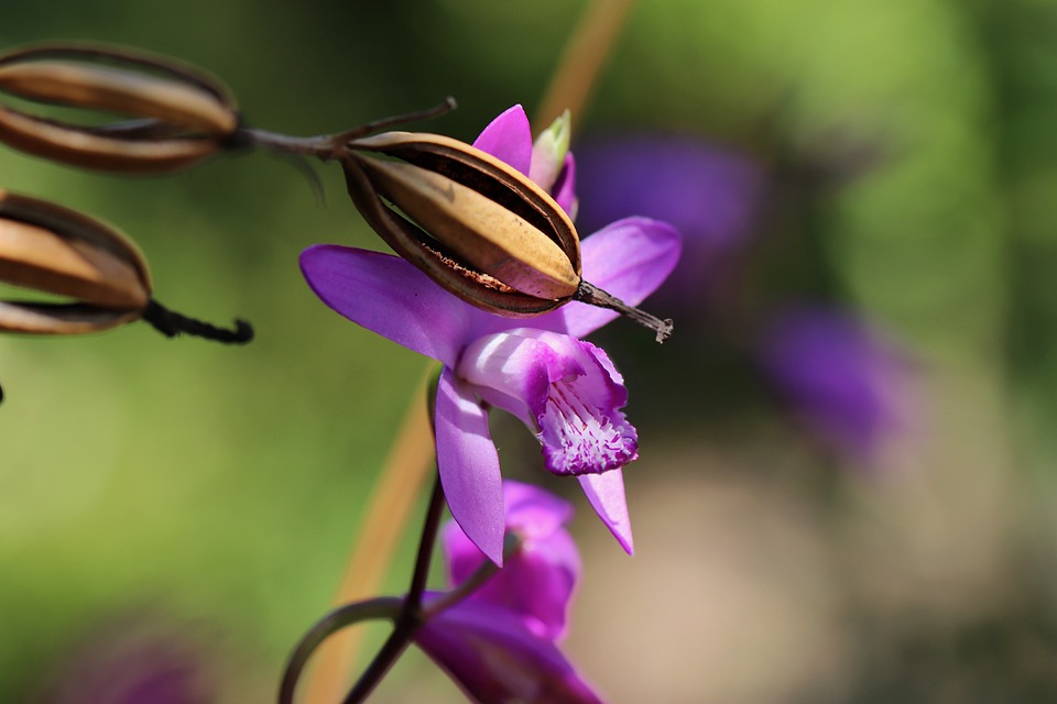 Orchid, Seed Capsules, Bletilla Striata, Flowers