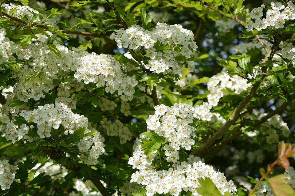 Flowers, White, The Hawthorns, Shrub, Nature