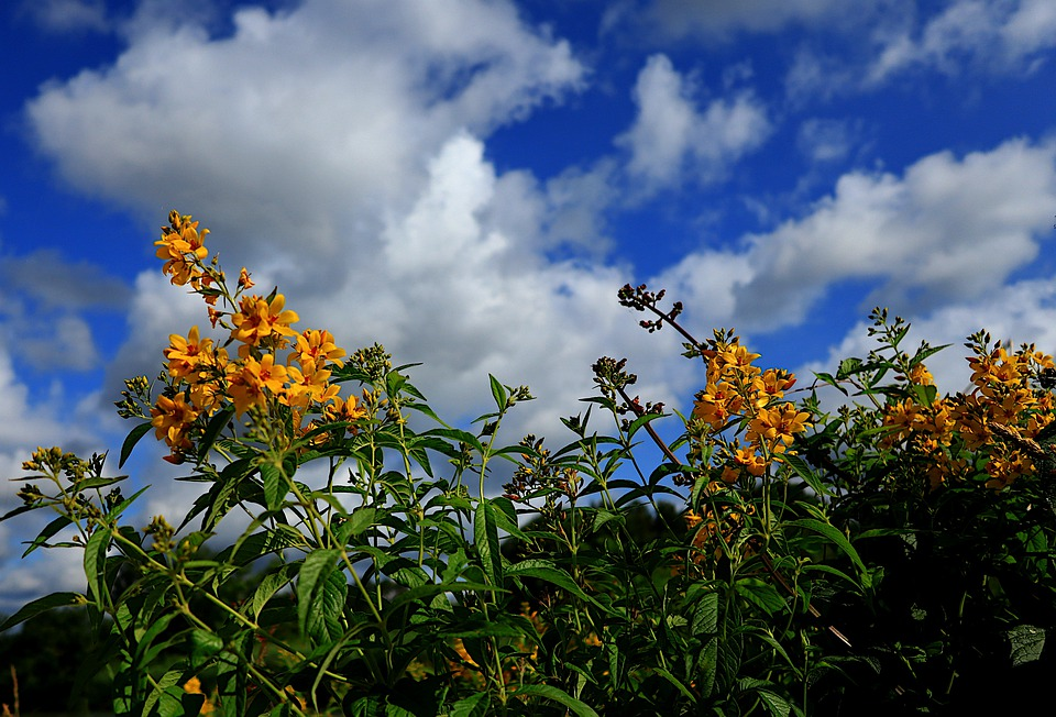 Nature, Flowers, Yellow, Sky, Blue, Clouds, Spring