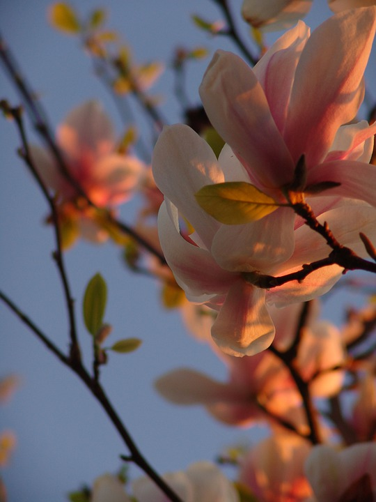 Magnolia, Flowers, Spring, Tree, Plant, Sky, Branch