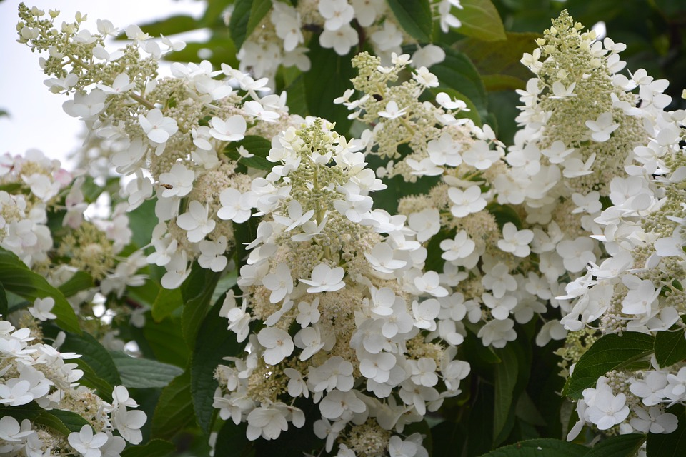Free photo flowers small white flowers hydrangea white cone max pixel flowers small white flowers hydrangea white cone mightylinksfo