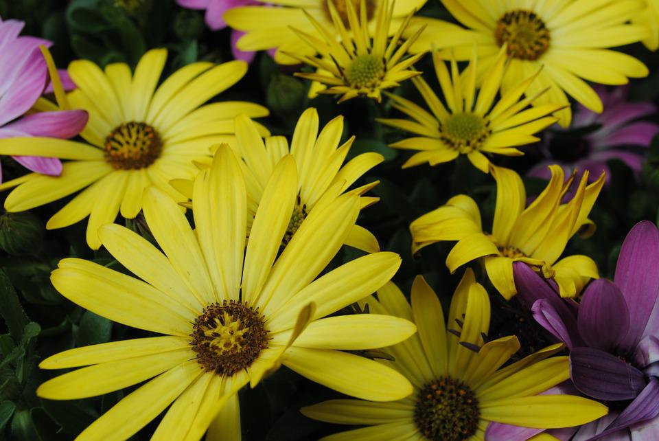 Flowers, Spanish Daisies, Yellow Flowers