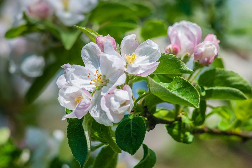 Spring, Flowers, Apple, Apple Blossom