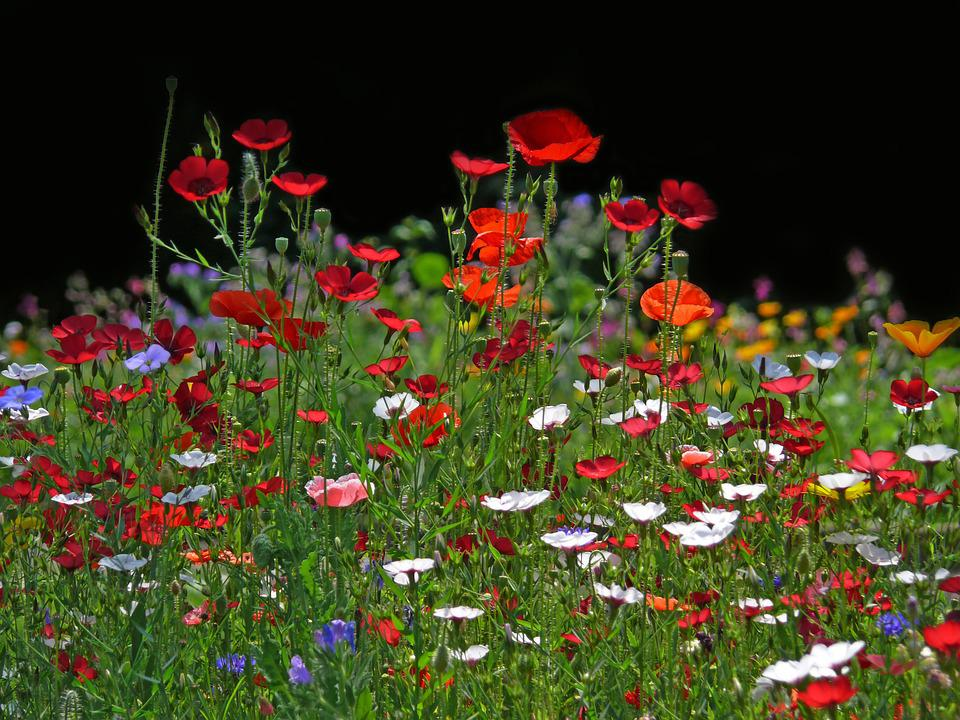 Flower Meadow, Flowers, Meadow, Back Light, Spring