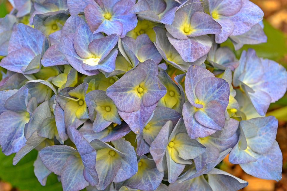 Hydrangea, Flowers, Lilac, Lavender, Blue, Bush, Spring