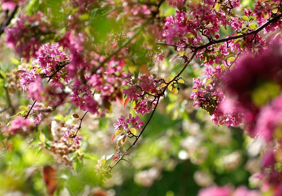 Flowers, Tree, Cherry Tree, Spring, Cherry Blossom