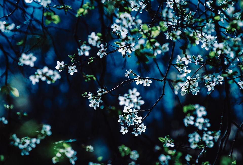 Spring, Flowers, Cherry Blossoms, Branch, Petals