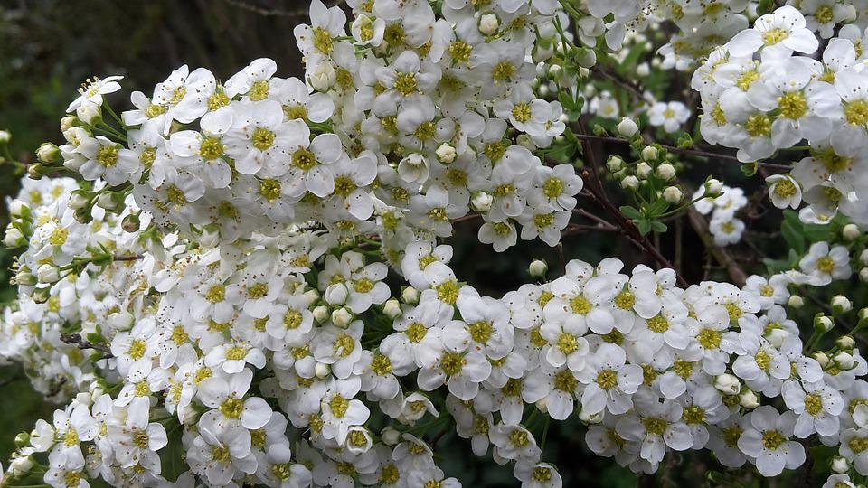 Flowers, Spring, Close, Grand Spier, Blossomed, Plant