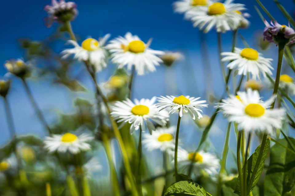 Spring, Field, Daisy, Nature, Colorful, Flowers
