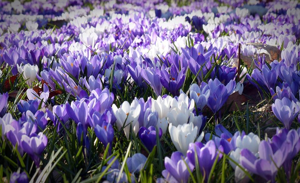Crocus, Garden, Flowers, Early Left Awake, Spring