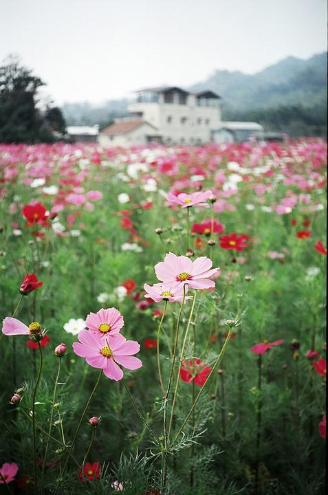Flowers, Spring, Cosmos, Field, House