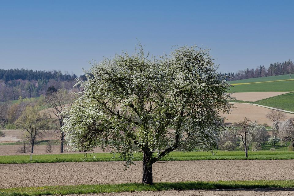 Tree, Flowers, Field, Bloom, Blossom, Spring, Landscape