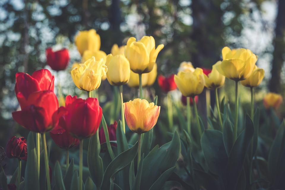Tulips, Flowers, Petals, Plant, Spring, Flora, Garden